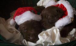 AKC/OFA Lab puppies born 10/29/2012 during Super Storm Sandy. 7 Choc. and 2 Yellows. Asking $700.00  with a $300.00 deposit to reserve puppy. Puppies will be ready just in time for Santa. Call --