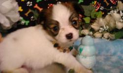 AKC Papillons, Champion blood lines. Sweet, intelligent and very easily trained. Their approximate adult weight is about 5- 7 pounds. Excel at obedience, agility and also make great pet therapy dogs. They are extremely adaptable. Great for families that