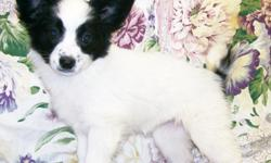 AKC Papillon puppies They are 10 weeks old. & in great health. We offer current shots, Wormings,Bordella Vaccines & Health guarantee, Full AKC Registration papers, Food & we also have a lifetime take back guarantee! None of our dogs would ever be in a