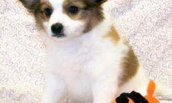 AKC Papillon puppies They are 8 weeks old when going to their new homes. & in great health. We offer current shots, Wormings,Bordella Vaccines & Health guarantee, Full AKC Registration papers, Food & we also have a lifetime take back guarantee! None of