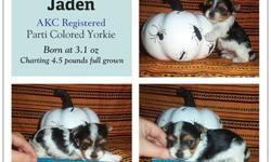 Jaden was born 9/29/12 at 3.1oz and is charting to be only 4-4.5 pounds full grown. Jaden is rare purebred, AKC registered Parti Yorkie and comes from Champion Crown Ridge Bloodlines! His parents are Romeo and Juliette who are also AKC Registered, DNA