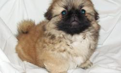 Beautiful AKC Pekingese Male Puppy for Sale. He was born on 5/09/2011, he's 10 wks old now. Color is fawn with a black mask. Please visit my web site to view the family. www.ccpekingese.com (Caney Creek Pekingese)