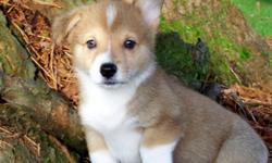 Here is the AKC Corgi litter you have been waiting for. They Come Pre-Spoiled! The 2 males will be red and white. 1 Black tri female $600.00 She has a white spot on her eye from a birth trama, but is healthy and happy. She has site in both eyes. She is