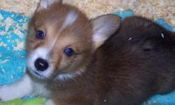 Here is the AKC Corgi litter you have been waiting for. They Come Pre-Spoiled! The 2 males will be red and white. 1 Black tri female $600.00 She has a white spot on her eye from a birth trama, but is healthy and happy. She has site in both eyes. All are