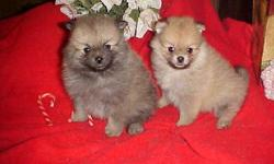 Show prospects. Or good companions as well. Good quality babies. Orange and cream sable. All females. AKC registered. Taking deposits ready Dec 23rd. These are $500. Sire has 19 champions behind him, Blitzen lines. Mother and dad 5 and 6 lbs. --