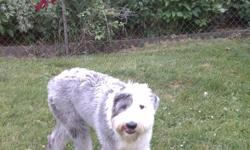 AKC Old English Sheep dog, shots done, house broken, neutered, 8 month old large puppy call 586-212-8458