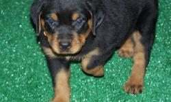 If you are looking for massive size rottweiler kountry boy kennel strives in breeding rottweiler with rich marketing massive heads tree trunk bones and short snouts and great temperment. As you can see we have nice size rottweiler and believe in quality