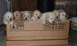 NEW Reduced PRICE! These puppies will be gorgeous!!! They are the of the best quality and temperament! Please call me and I will be happy to show them to you. Exceptional Purebred Golden Retriever puppies! Both Parents OFA Certified on Hips, and