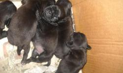 4 AKC PUREBREED CHINESE PUG PUPPIES ALL BLACK WITH 2 MALES WITH WHITE STRIPE ON CHEST $550 AND 2 ALL BLACK FEMALES $600. BORN FEB 17TH READY AFTER APRIL 1ST. THEY WILL BE AKC REGISTERED AND HAVE 1ST SET OF SHOTS. CALL TO SAVE YOUR LITTLE PUG NOW