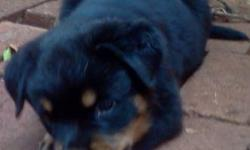 AKC champion purebred German Rottweiler puppies available one male one female. The sire is Akio Vom Kummelsee you can see at http://apkennelrottweilers.com The Dam is Hoshi Von Der Teufelsbrucke. Deposits recommended/purchase. Email:or Call Alex