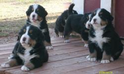 AKC full Reg Bernese Mountain Dogs puppies for sale. Born 11/20/10 ready for new homes 12/31/10. Available now is 2 males 5 females. We are not a ?Kennel? or full time canine breeder, our dogs: Rider (the sire) and Lilly (the dam) are members of our