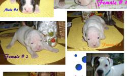 I HAVE A LITTER OF AKC REG. BOXER PUPPIES I AM TAKING DEPOSITS ON. PUPPIES WILL BE READY AT EIGHT WEEKS OLD ON MAY 15TH, THEY WILL COME WITH FULL AKC REG., FIRST SET OF SHOTS, WORMED FOUR TIMES, AND TAILS AND DEW CLAWS DONE BY THE VET. I AM ASKING $700.00