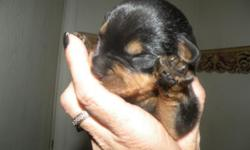 6 males, 4 females,tails and dewclaws cut.will have 1st shots with shot records by their ready date.I own both sire and dame,they will be BEAUTIFUL dogs.Will be ready 10-19-12