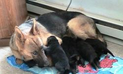 TAKING DEPOSITS ON 3 MALES, 3 FEMALES, BLACK/TAN, BORN MARCH 2, 2011, WILL BE READY ON APRIL 20,2011, WILL BE VET. CHECKED, FIRST SHOTS, MULTI DEWORMING, WILL COME WITH PUPPY KIT, 2YEAR HIP/HEALTH WARRENTY, PARENTS ON PREMISIS, CAN BE SEEN BY APPOINTMENT,