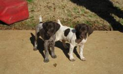 9 weeks old - shots @ 6 & 8 weeks old - wormed - 1 male and 3 females - championship bloodlines and excellent hunting stock