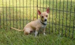 """This is """"Rudy"""", and adorable, playful, and fun little 5 month old puppy. He is a beautiful light fawn color Deer Chihuahua, and has the BEST personality. He would be a terrific companion for anyone! He loves kids! """"Rudy"""" is current on all puppy shots, and"""
