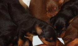 Puppies are (5) weeks old this week. 5/16/11 Born 4-9-11 I have both Mom and Dad on site. Dads large, Black and Rust and is very sweet, Has a great personallity. His name is Duke. Mom is Med to Large Red and Rust dog also with great personallity. Her name