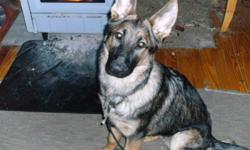 One year old male, sable german shepherd. AKC registered with papers.