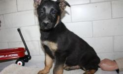 Please call us to meet this awesome puppy. (Closed Sundays)  This is a very intelligent and playful ACA Registered German Shepherd puppy. This is the perfect puppy for you or someone you love!!  Vaccinations started. De-wormed also. Vet