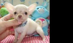 Thanks for looking at our Chihuahuas. We currently have males and females available, short hair pups. Our Chihuahuas come with a one year written health guarantee against congenital diseases and have been vet checked twice. Our puppies are all treated for