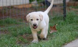 Akc Reg. Lab puppies. 14 wks. shots and heartworm preventative given. Need loving home with room to run and play. Lab lovers preferrable. Sire field trial grand champion. Both from great hunt/retriever bloodlines. Black female available. call