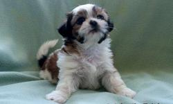 ADORABLE 8 WEEK OLD MALE SHIH TZU PUPPIES. 350.00 DEW CLAWS AND FIRST SET OF SHOTS. PLEASE CONTACT JUDY THATCHER.. AT 801-965-9189 or 801-866-5010