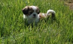 11 week old AKC registered Shih Tzu puppies. The puppies have had their first set of shots and know how to use a dog door. Call Tom or Jeanette for more details at (435) 231-0002.
