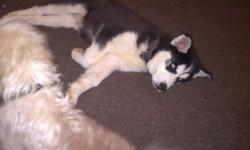 Black and white 12 weeks old (puppy) Akc registered Blue eyes Location joplin missouri Male Asking 250 but can go down to 200 and no less Txt 561 433 2003