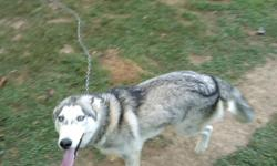 i have a one and a half year old siberian husky. He is a beautiful dog. HE needs to find a new home because right now i live in a 2 bedroom apartment and he needs more room than to run.He is great and white with blue eyes. i bought him from a bredder is