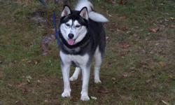 """Dacodas Kodak Moment is a four year old Siberian Husky. Beautiful Black & White intact male. Koda's decendants include bloodlines of the dog on """"snow dogs"""" and """"eight below"""". Koda is young and needs a home that would take him to his potential. Has a"""