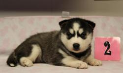 I have some AKC registered female Siberian Husky puppies available. They are all black and white with blue eyes. They are up to date with their shots and de-wormed. They are weaned and ready for their new homes. Raised with small children and our farm