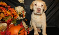 Beautiful AKC yellow Lab puppies, These guys are wonderful they are very happy healthy and playful. They have been well socialized with kids and other pets. They are up to date on their shots and wormings. The parents are onsite for your viewing. 3girls
