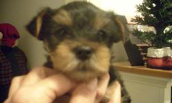 ONE SMALL AKC REGISTERED YORKIE MALE PUPPY, HE WAS THE RUNT OF THE LITTER. HIS TAIL HAS BEEN DOCKED, DECLAWED, WORMED, 1ST. SET OF SHOTS. HE HAS BEEN RAISED IN MY HOME WITH LOTS OF LOVE AND ATTENTION. HE WAS BORN APRIL 26th.