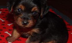 AKC Yorkshire Terriers Born- May 20, 2011 Ready July 15, 2011 I have 3 females and 1 male left. They are registered and will be up to date on shots and worming. They will be small, none over 5 lbs. Dad is black/tan and weighs 2.5 lbs and Mom is