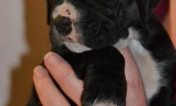 Puppies ready for new homes 7weeks old tails and dew claws done.