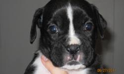 AKC 1/2 GERMAN, SEALED BOXER PUPS,TAILS,DEW CLAWS,SHOTS,WORMED.4 MALES,1 FEMALE. PARENTS ON PREMISSES. RAISED WITH LOVE AND DEVOTION. PASSING THEM TO YOU TO GIVE A LIFE-LOMG HOME OF THE SAME. 951-858-3833