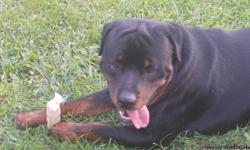 Mother and Father on premises-vet checked -shots and wormed-beautiful champion bloodlines