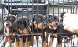 Absolutely adorable AKC registered Rottweiler puppies. These beautiful babies are now ready for a loving family and forever home. Champion German bloodlines! They are playful, loving, precious puppies. Born on December 30, 2010 (7 weeks). They have been