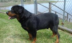 akc german champoin blood line rottweiler puppies for sale sire is big goliath 163pd akc dna has the huge wide stocky body big brod head and his puppies are awsome looking if you are looking for that heavy thick rottie thin cheack us out at