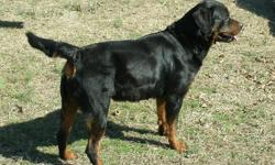 AKC Registered Rottweiler puppies from both AKC and Schutzhund Champion bloodlines including German and other European bloodlines. Excellent bloodlines. Prices vary but start at $500. Website is http://lefler-rotts.110mb.com email me for additional