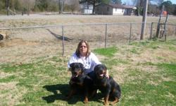 AKC PUPPIES I CAN SEND PIC IF U CALL OR TEX ME # 918/917 /7344. THE PIC IS OF MOM AND DAD . PUPPIES WAS BORN TODAY. 12/19/2012 250 with out papers 300 with papers.