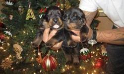 super cute Rottweiler Puppies For Sale AKC Registered (11 Weeks old)We Have excellent Puppies available,  Vaccinated and Dewormed, Champion Bloodlines, Health Guarantee, AKC Registration, If you are interested in getting a rotty home  please