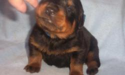 Dam is Yu.Ch.with working titles. Sire is AKC pointed and on his way to his Championship Title. Feb. 20, 2011 there was 2 boys & 3 girls born to this litter. They are 25 days old pictured here sitting and walking with their eyes open. In a 4 generation