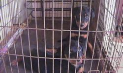 We have puppies Von Kummelsee Rottweilers here at AP Rottweilers, We Breed for Quality, not Quantity. Our Pedigree is one of the Top German Pedigrees. Check us out on the website: http://apkennelrottweilers.com/default.aspx Call Alex for Pricing &