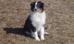 AKC Tri-colored Male Sheltie. Mac is 6-months old. Housebroken, loves kids, gets along great with cats and other dogs.
