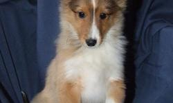 AKC Registered Sheltie Puppies For Sale. These playful energetic puppies are ready for their new home. They are a must see and you can view pictures of available puppies and the mom and dad at: picturetrail.com/shelites. They have been dewormed, vet