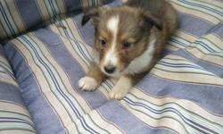 For sale: Akc Sheltie puppies born on June 19th, 4 females , Has had first shots, checkup and worming, ready to go, The picture on here is of one of the females available for more photos of all the pups and their parents email me or call -- or visit the