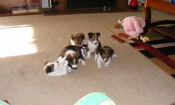 3 boys $350 2 girls $400 ready for homes Parents on premises..Very playfull and healthy, They are small family dogs.. Dad is 17 inchs mom is 13inches.. I put a pick of mom and dad the black one is mom the red one id dad...SERIOUS CALLS ONLY..please call