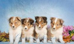 AKC Shetland Sheepdog puppies, $500 each. See photos on the web at www.clearviewshelties.com or call --.