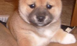 Shiba Inu puppies available now and more on the way. They are AKC registered with great Champion lines. Our puppies are family raised around kids, cats, and other dogs. We work on potty training and crate training for a smoother transition for you and